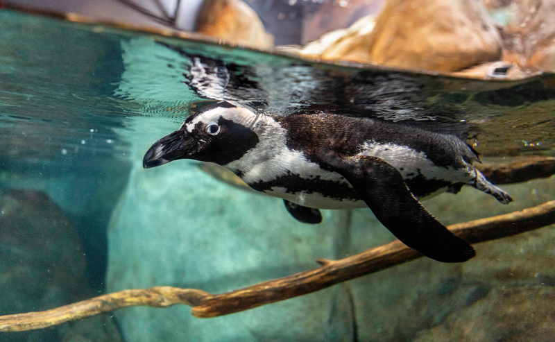 Nose to beak with African penguins exhibit at the Greensboro Science Center.