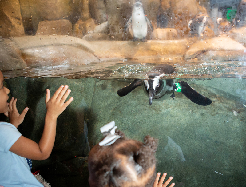 African penguins exhibit at the Greensboro Science Center.