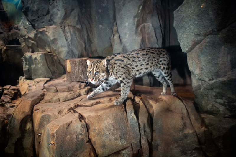 A fishing cat at the Greensboro Science Center.