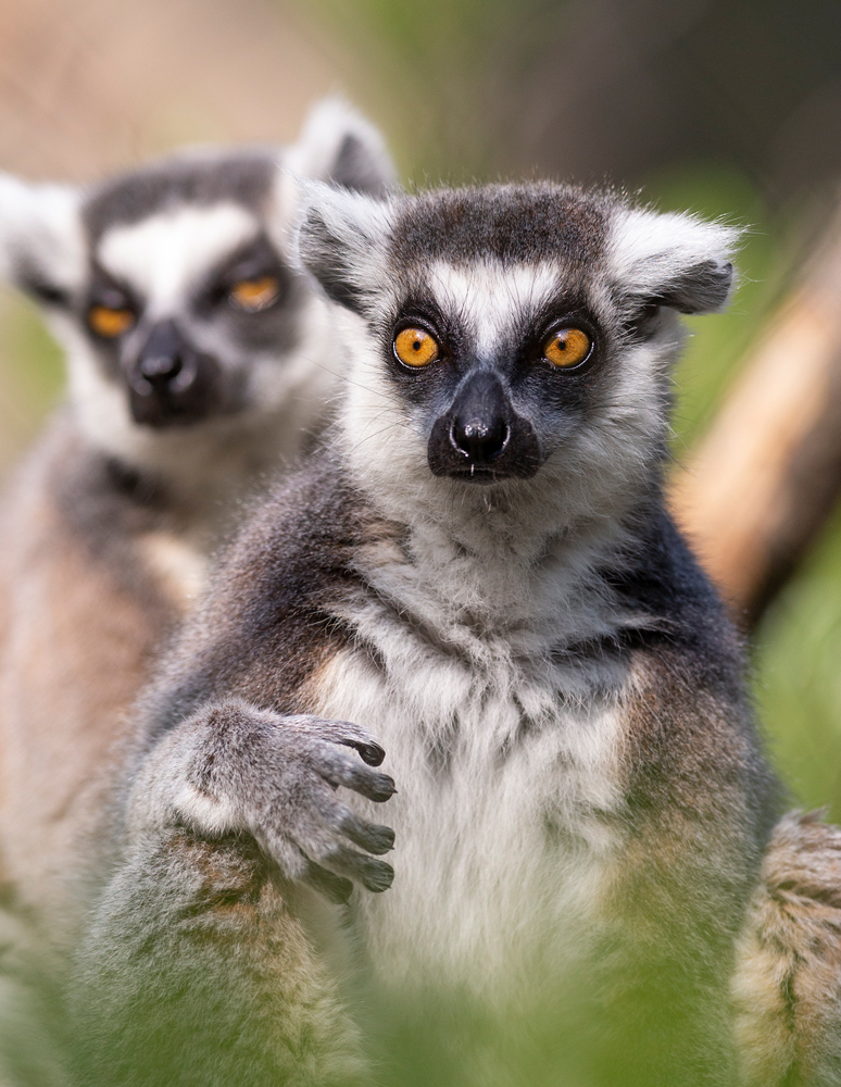 A pair of ring-tailed lemurs at the Greensboro Science Center.