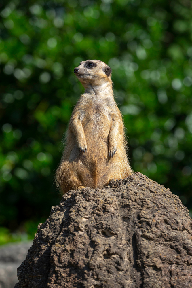 A meerkat at the Greensboro Science Center.