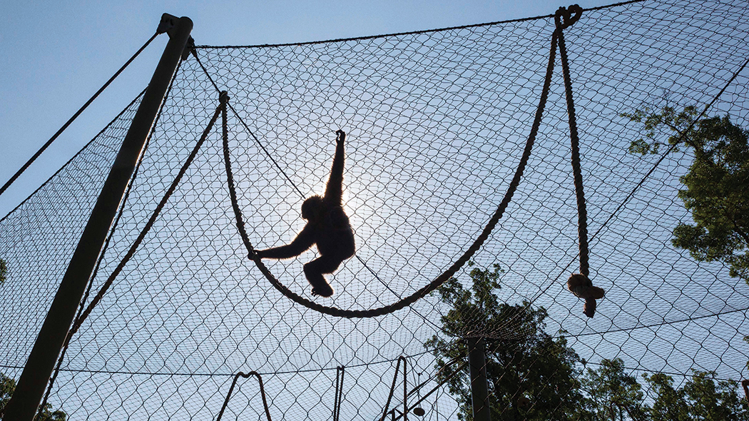 A Javan gibbon swings and climbs through its habitat, showing off for zoo visitors.